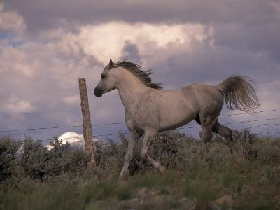 White Horse Trotting Along Barbed Wire Fence-Jim Oltersdorf-Photographic Print