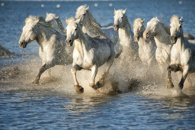 White Horses of Camargue, France, Running in Blue Mediterranean Water-Sheila Haddad-Photographic Print
