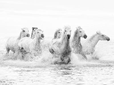 White Horses of Camargue Running Through the Water, Camargue, France-Nadia Isakova-Photographic Print