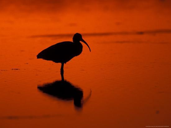 White Ibis at Sunset, Ding Darling National Wildlife Refuge, Florida, USA-Jerry & Marcy Monkman-Photographic Print