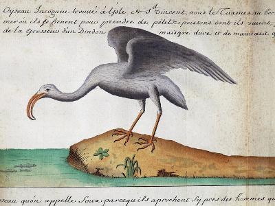 White Ibis (Eudocimus Albus)--Giclee Print