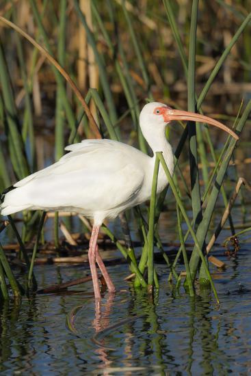 White Ibis in the Soft Stemmed Bulrush, Viera Wetlands, Florida-Maresa Pryor-Photographic Print