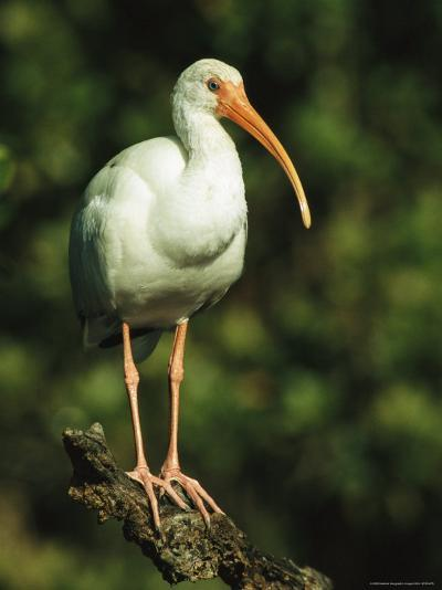 White Ibis Perches on a Tree Branch on Floridas Gulf Coast-Klaus Nigge-Photographic Print