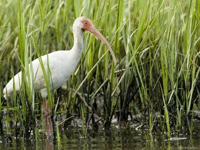 White Ibis Portrait, Tampa Bay, Florida-Tim Laman-Photographic Print