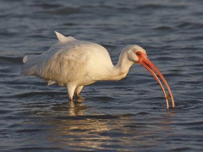 White Ibis, Texas, USA-Larry Ditto-Photographic Print