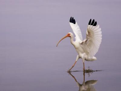 White Ibis Walking Through Water with Wings Open, Endocimus Albus, North America-John Cornell-Photographic Print