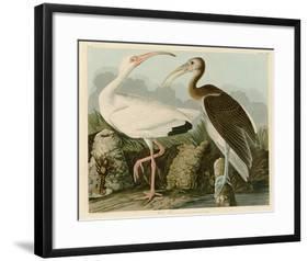 White Ibis-John James Audubon-Framed Giclee Print