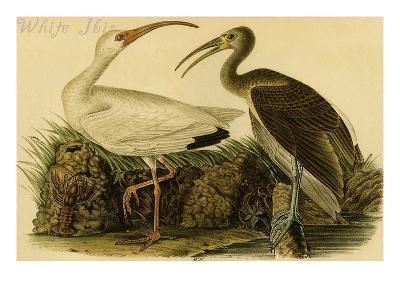 White Ibis-John James Audubon-Art Print