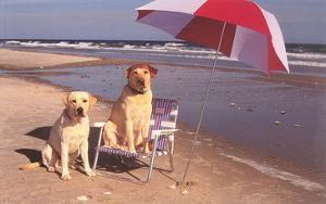 White Labradors at the Beach
