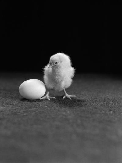 White Leghorn Chicken Standing Next To Egg-H^ Armstrong Roberts-Photographic Print