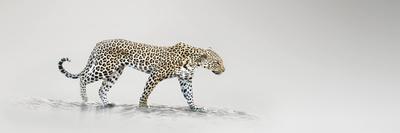 https://imgc.artprintimages.com/img/print/white-leopard_u-l-f6cjn70.jpg?p=0