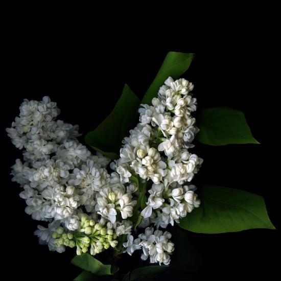 White Lilac 9-Magda Indigo-Photographic Print