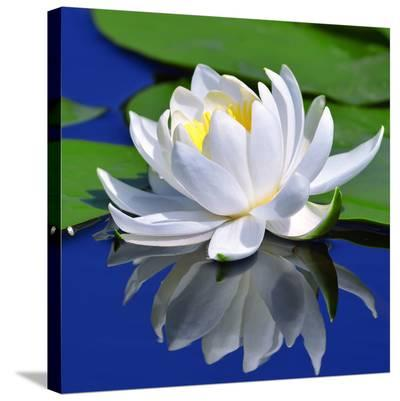 White Lily & Green Pond Leaves--Stretched Canvas Print