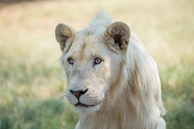 White Lion-mr anderson-Photographic Print