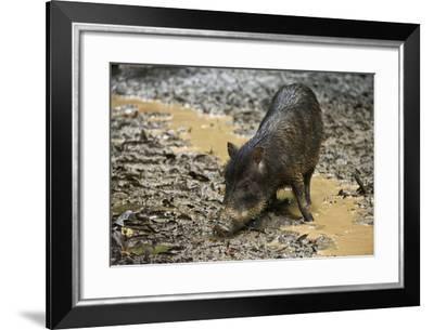 White-Lipped Peccary at Saltlick, Yasuni, Amazon Rainforest, Ecuador-Pete Oxford-Framed Photographic Print