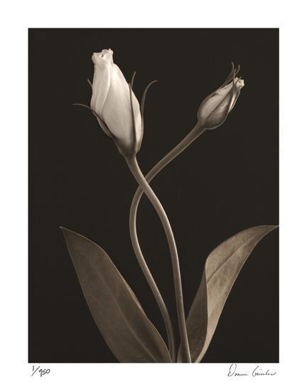 White Lisianthus III-Donna Geissler-Giclee Print