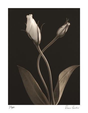 https://imgc.artprintimages.com/img/print/white-lisianthus-iii_u-l-f2ytv30.jpg?p=0
