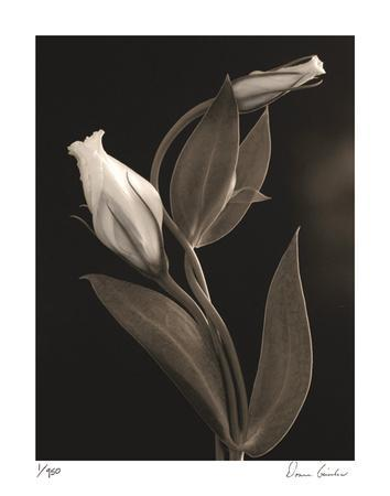 https://imgc.artprintimages.com/img/print/white-lisianthus-iv_u-l-f2ytv50.jpg?p=0