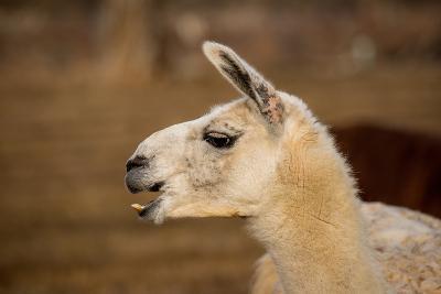 White Llama Head Shot Profile Laughing- photobyjimshane-Photographic Print