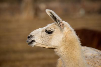 White Llama Head Shot Profile Pursed Lips- photobyjimshane-Photographic Print