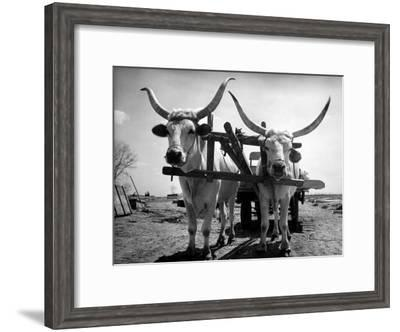 White Long-Horned Steers Teamed Up Like Oxen to Pull a Hay Wagon on the Anyala Farm-Margaret Bourke-White-Framed Premium Photographic Print