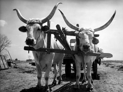 White Long-Horned Steers Teamed Up Like Oxen to Pull a Hay Wagon on the Anyala Farm-Margaret Bourke-White-Photographic Print