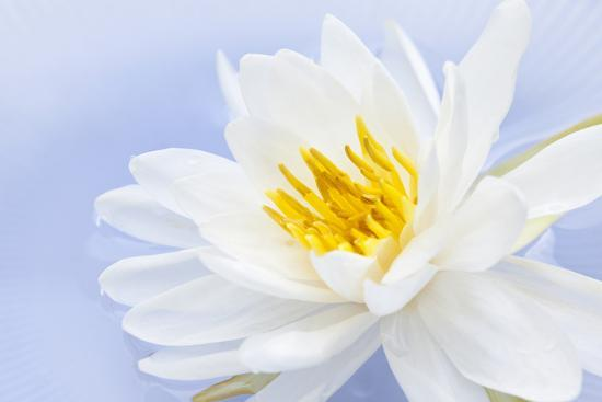 White Lotus Flower or Water Lily Floating-elenathewise-Photographic Print