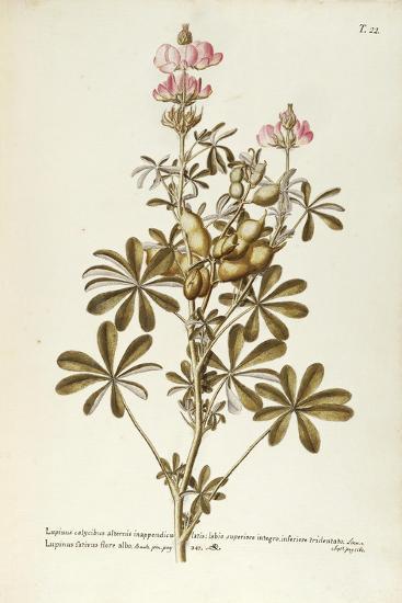 White Lupin (Lupinus Albus)--Giclee Print