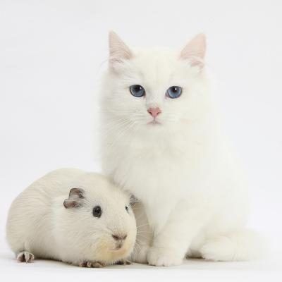 White Main Coon-Cross Kitten with White Guinea Pig-Mark Taylor-Photographic Print