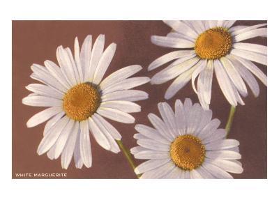 White Marguerite Daisies--Art Print