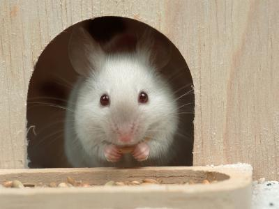 White Mouse in Hutch-Petra Wegner-Photographic Print