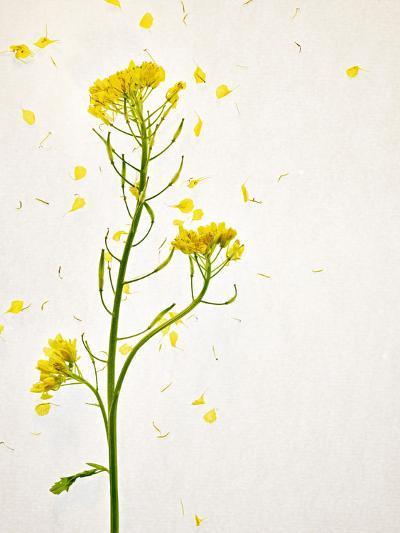 White Mustard, Mustard, Sinapis Alba, Stalk, Blossoms, Yellow-Axel Killian-Photographic Print