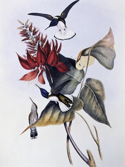 White-Necked Jacobin (Florisuga Mellivora)-John Gould-Giclee Print