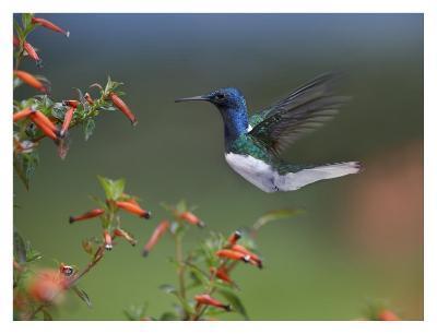White-necked Jacobin hummingbird, male foraging, Costa Rica-Tim Fitzharris-Art Print