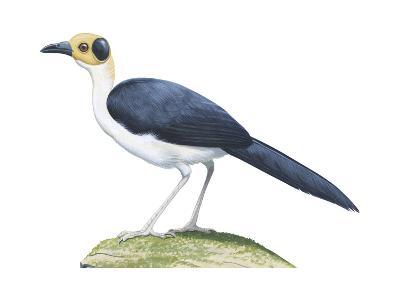 White-Necked Rockfowl (Picathartes Gymnocephalus), Birds-Encyclopaedia Britannica-Art Print