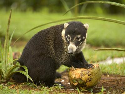 White-Nosed Coati (Nasua Narica) Opening Coconut with Front Paws-Roy Toft-Photographic Print