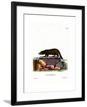 White-Nosed Coati--Framed Giclee Print