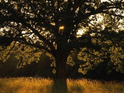 White Oak Tree, Great Smoky Mountains National Park, Cades Cove, Tennessee, USA-Adam Jones-Photographic Print