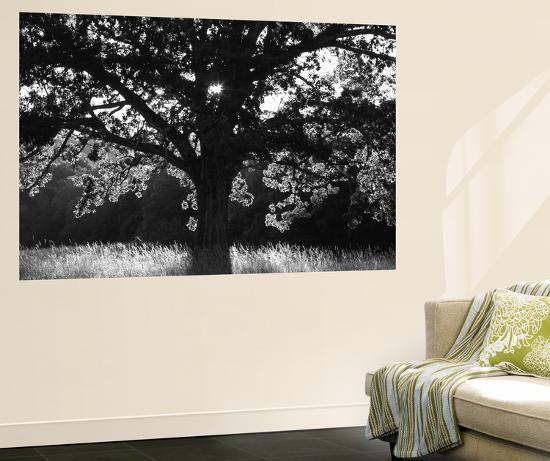 White Oak Tree Great Smoky Mountains National Park Cades Cove Tennessee USA Wall Mural By Adam Jones