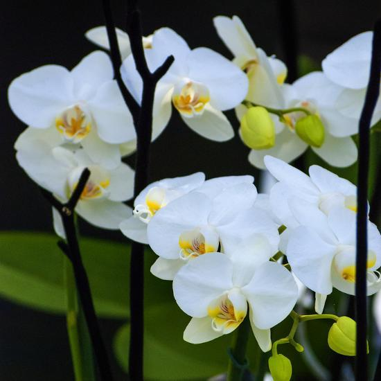 White Orchid Blooms-Anna Miller-Photographic Print