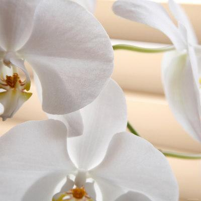 https://imgc.artprintimages.com/img/print/white-orchids-i_u-l-p23ft50.jpg?p=0