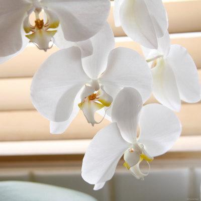 https://imgc.artprintimages.com/img/print/white-orchids-ii_u-l-p23fux0.jpg?p=0
