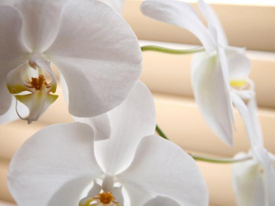 White Orchids III-Nicole Katano-Photo
