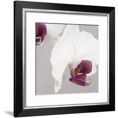White Orchids on Grey-Tom Quartermaine-Framed Giclee Print