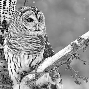 White Owl