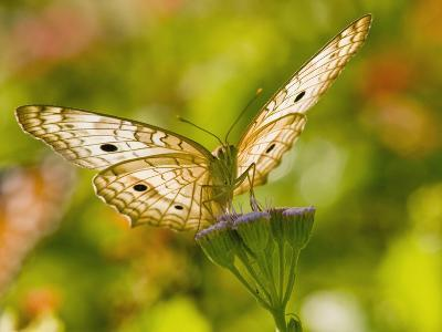 White Peacock Butterfly, Texas, USA-Larry Ditto-Photographic Print