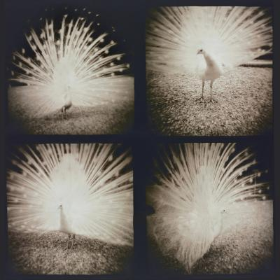 White Peacock Four times-Theo Westenberger-Photographic Print