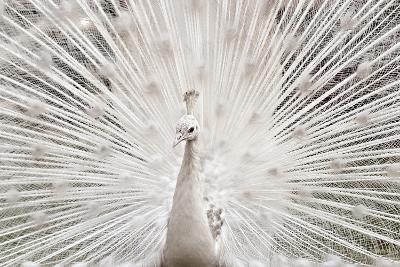 White Peacock, Lahore-pharan Tanveer-Photographic Print