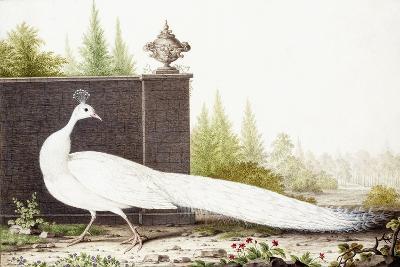 White Peacock-Nicolas Robert-Giclee Print