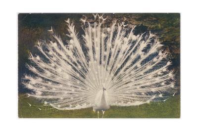 White Peacock--Giclee Print